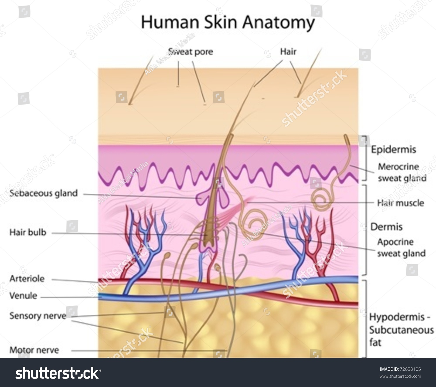 human skin crosssection labeled stock vector royalty free 72658105 rh shutterstock com
