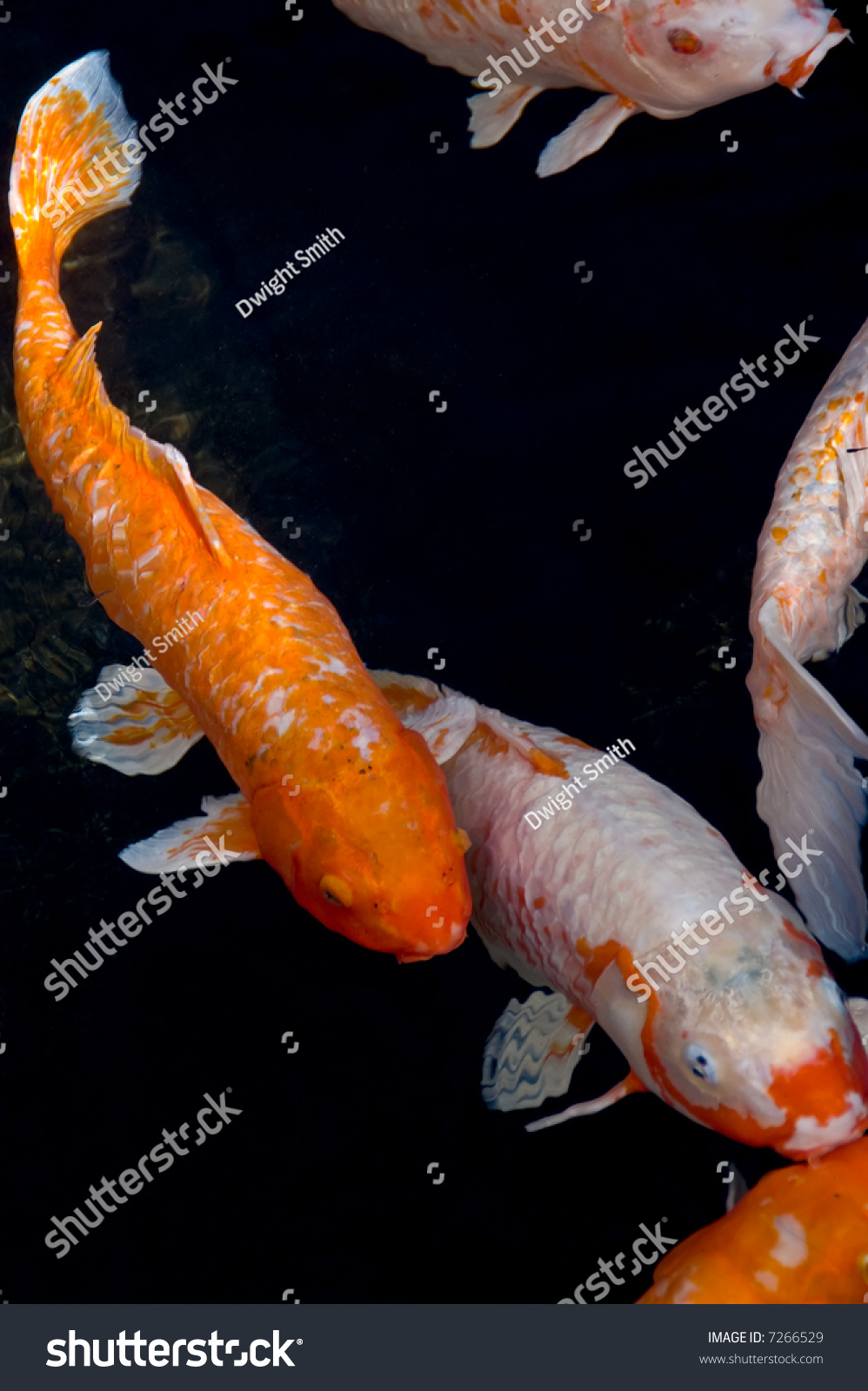 Image of koi fish swimming in a dark pond stock photo for Koi pond you can swim in