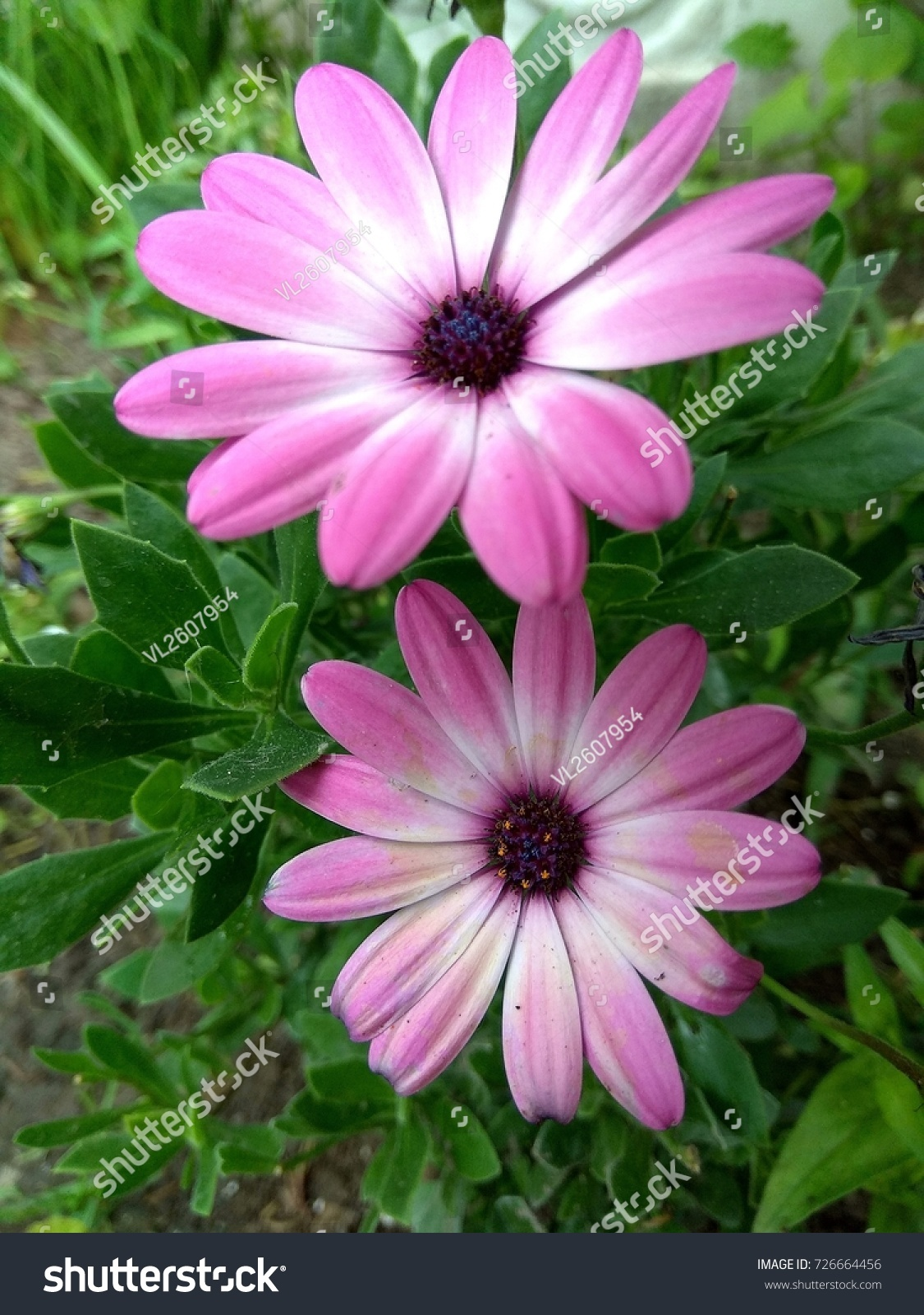 Pink Daisies Two Flower In The Bush Daisies In The Garden Ez Canvas