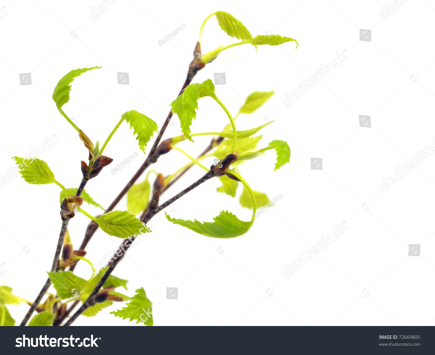 birch tree branch young leaves on stock photo 72669805 shutterstock