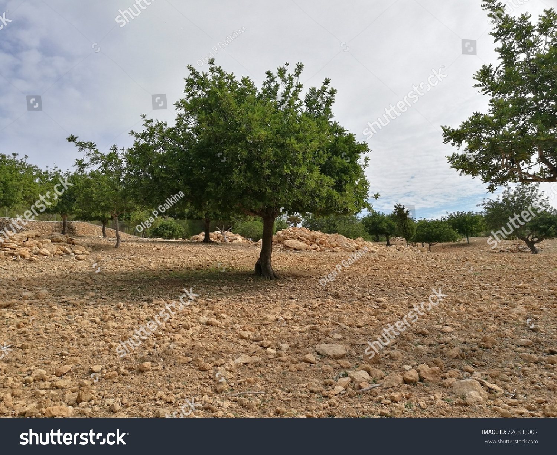 Olive grove. Photo taken in Brea de Tajo, Madrid Province, Spain ...