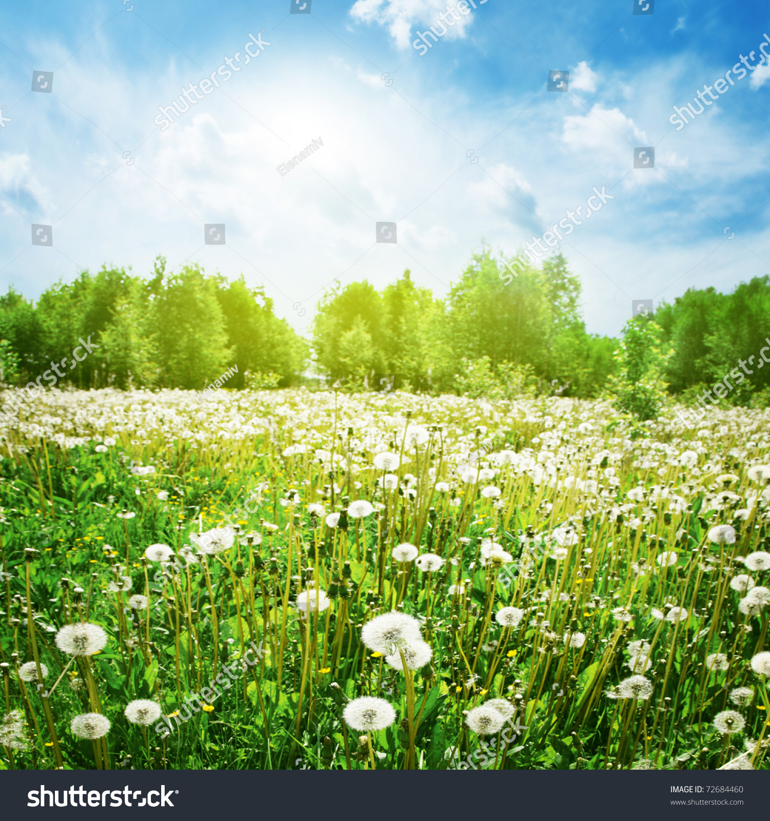 Field Of Dandelions,Blue Sky And Sun. Stock Photo 72684460