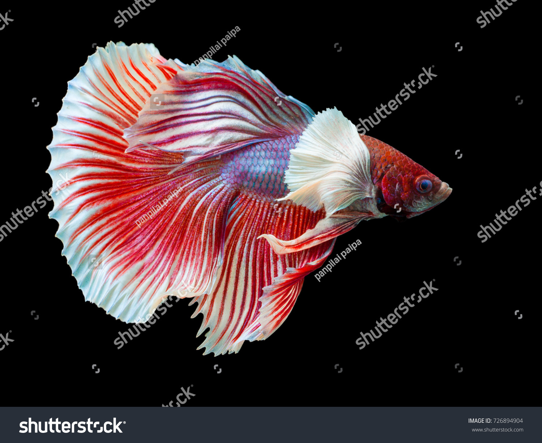 Multi Color Siamese Fighting Fish Halfmoon Big Earfighting Stock ...