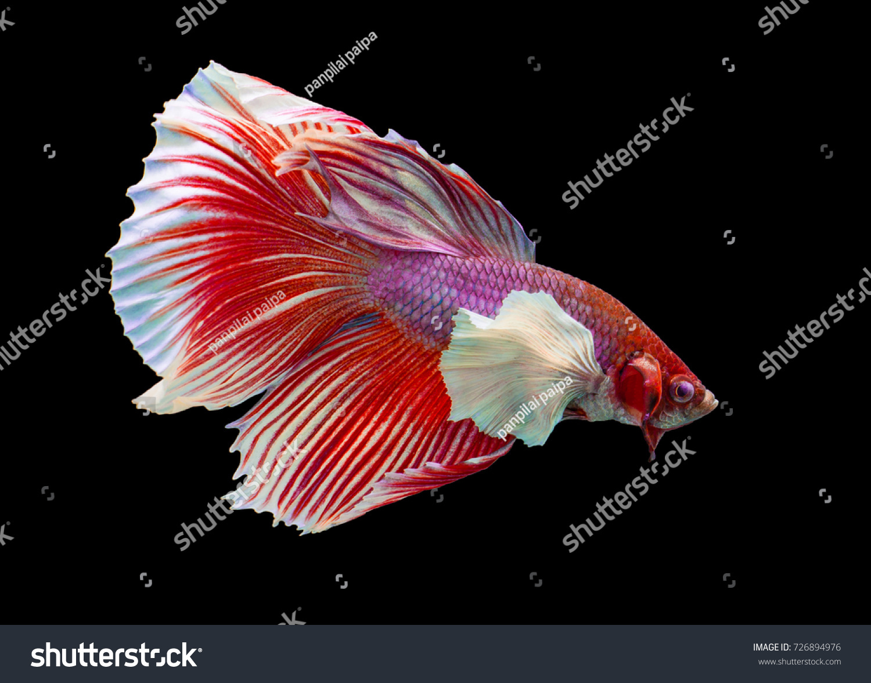 Multi color Siamese fighting fish(Halfmoon)(Big Ear),fighting fish ...