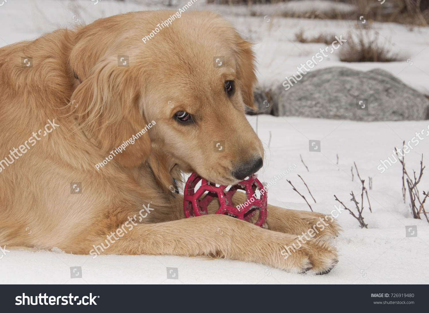 Male Golden Retriever Puppy Looks Almost Stock Photo Edit Now
