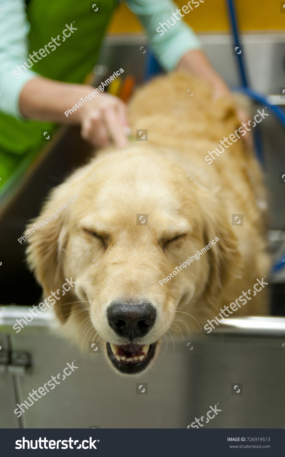 Full Grown Golden Retriever Literally Smiles Stock Photo Edit Now