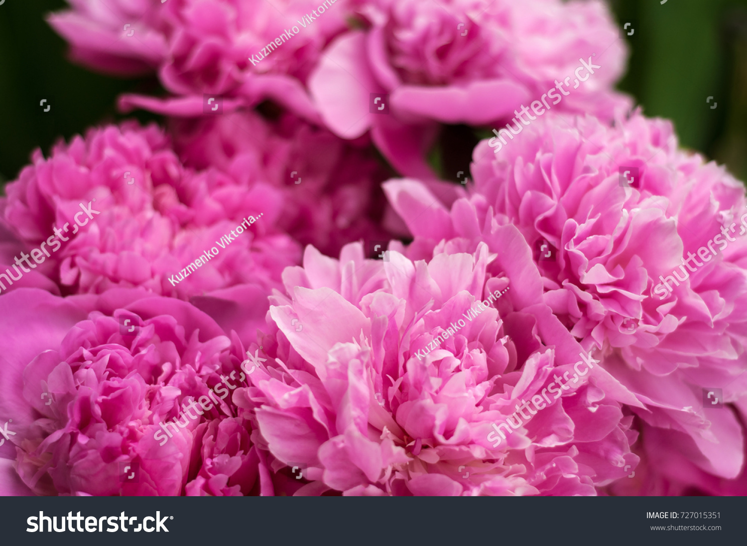 Group Of Fresh Pink Peonies In The Garden In The Summer Closeup Of