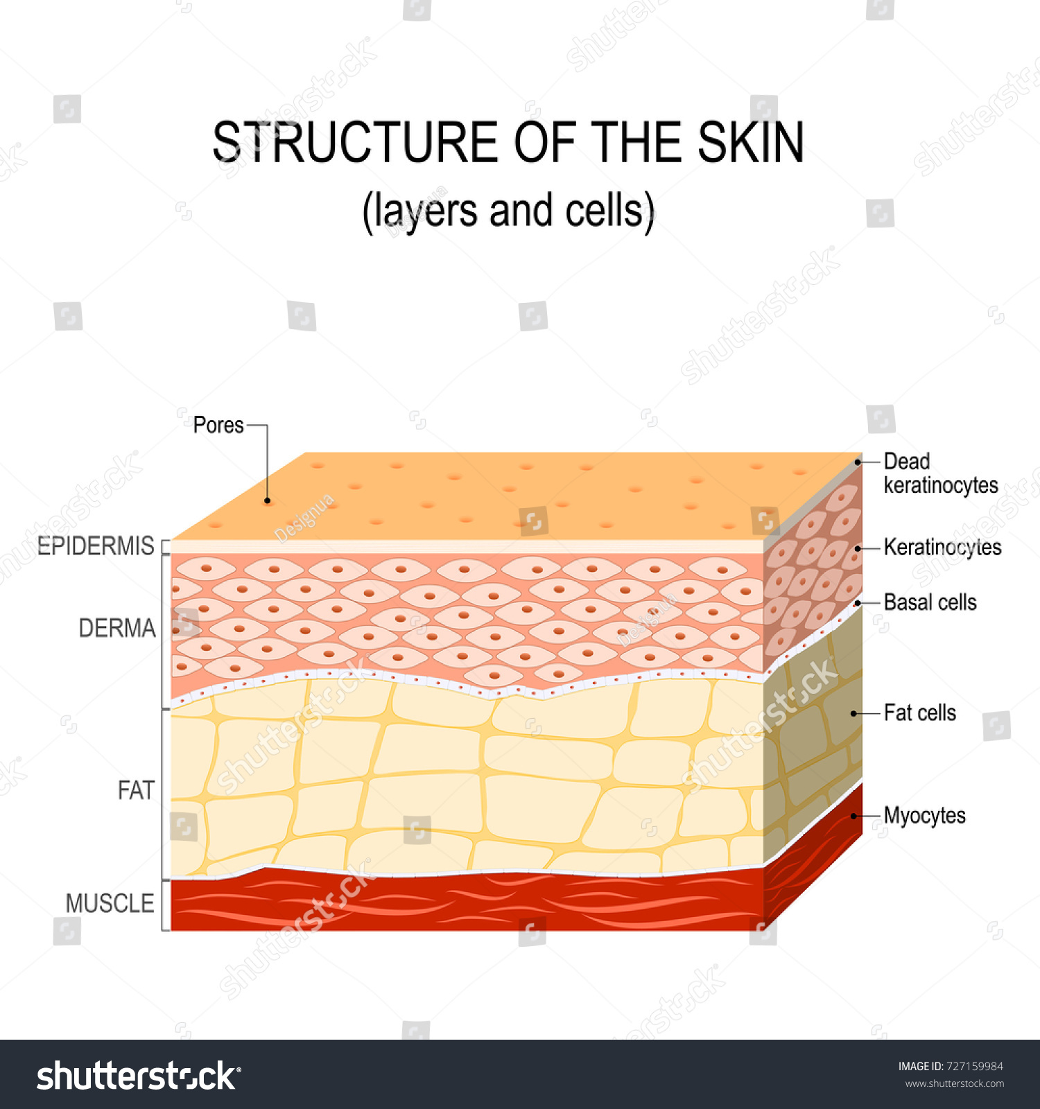 Structure Human Skin Layers Cells Stock Vector Royalty Free