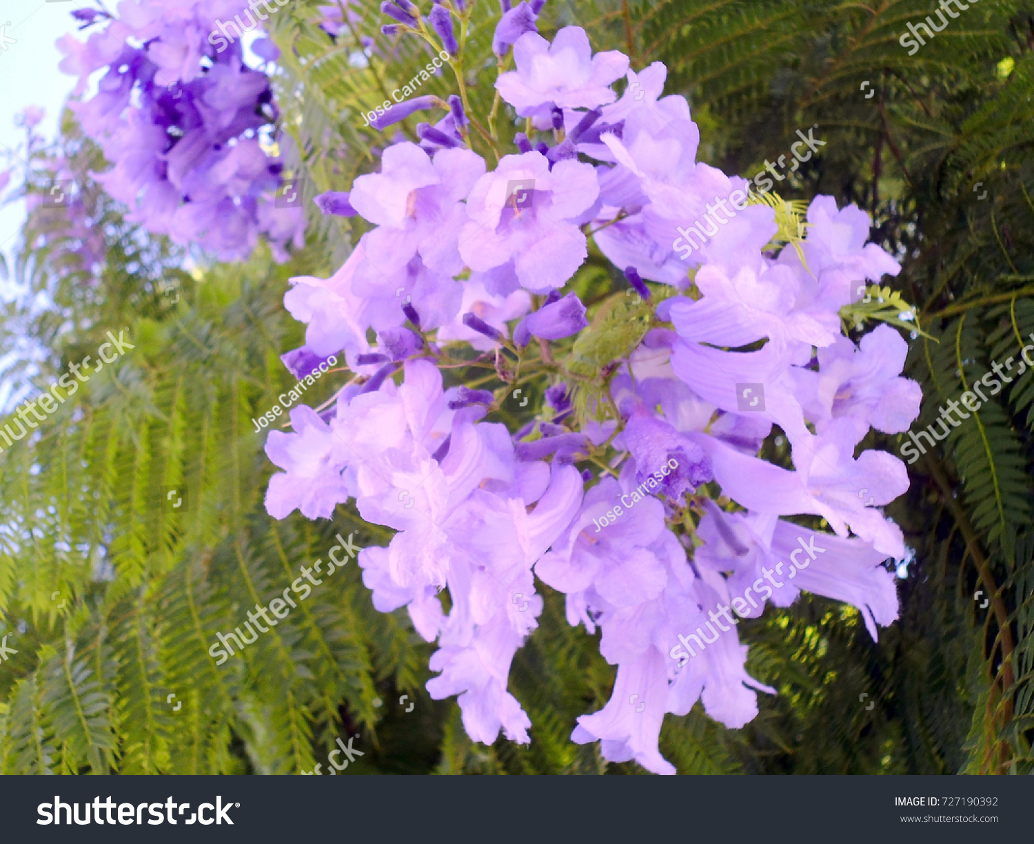 Tree Blue Violet Flowers Called Jacaranda Stock Photo Edit Now