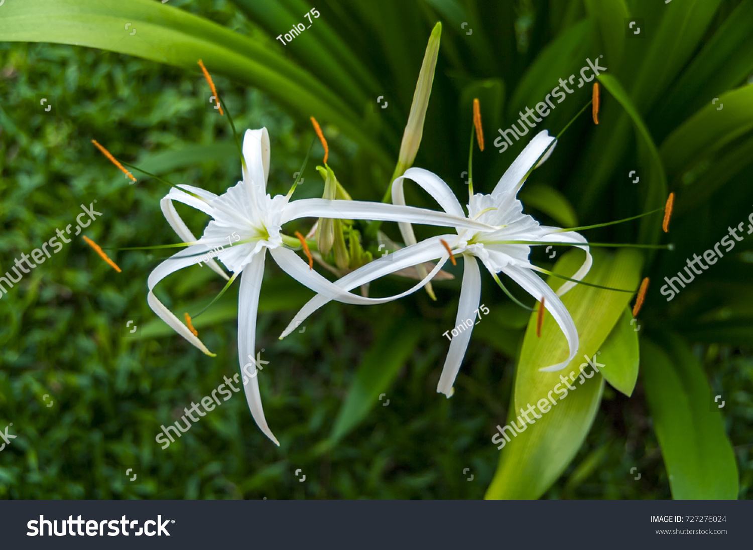 Beautiful whiter spider lily flowers stock photo royalty free beautiful whiter spider lily flowers stock photo royalty free 727276024 shutterstock izmirmasajfo