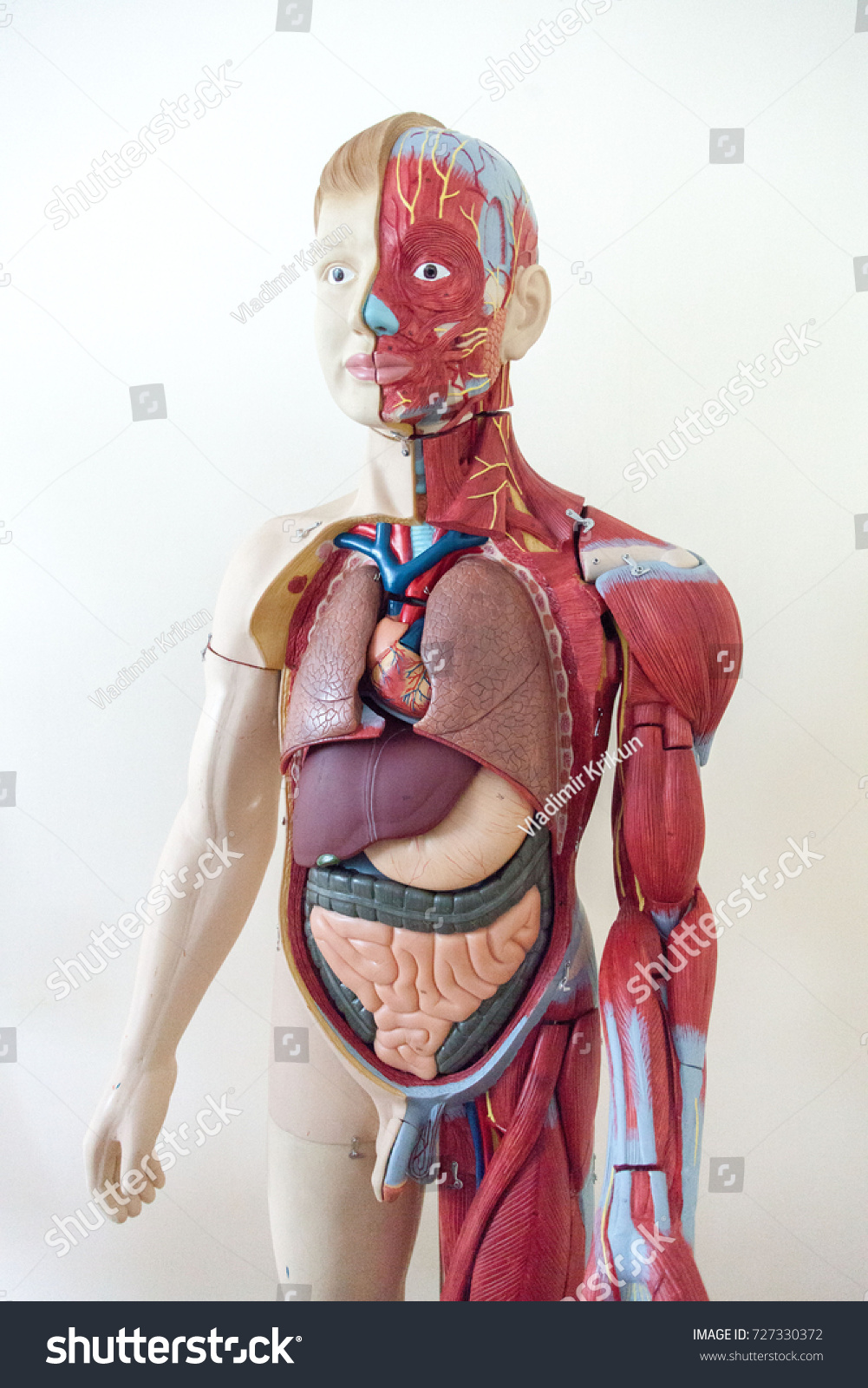 Human Anatomy Muscular System Layout Stock Photo Edit Now