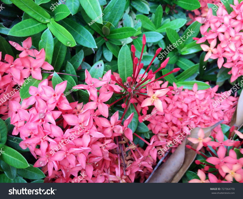 Ixora Flower Pink Spike Flower Rubiaceae Flower Ixora Stock Photo