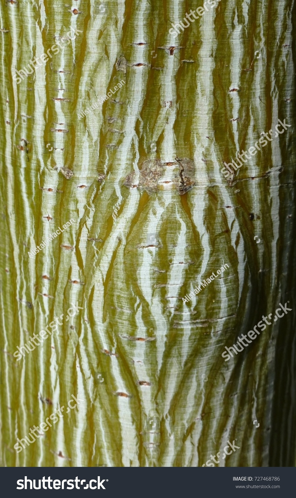 Lined Textured Bark Acer Davidii Viper Stock Photo (Download Now ...