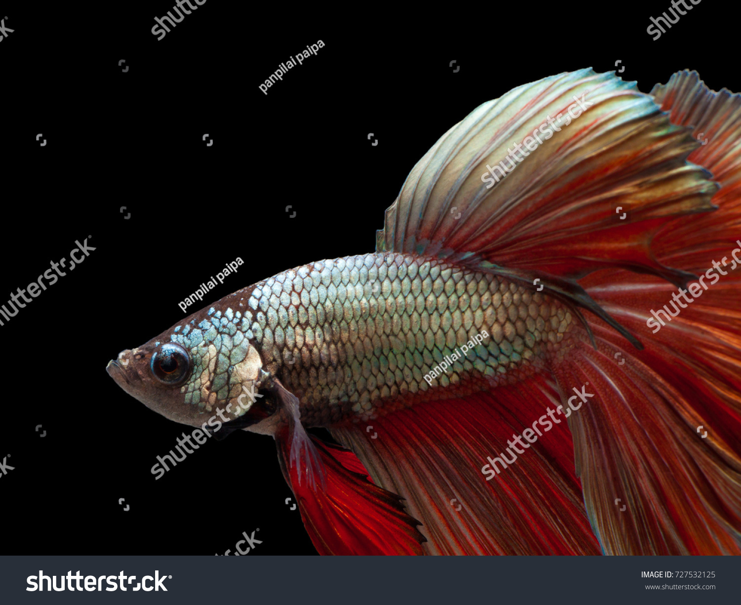 Multi Color Siamese Fighting Fish Double Tail Stock Photo (Royalty ...