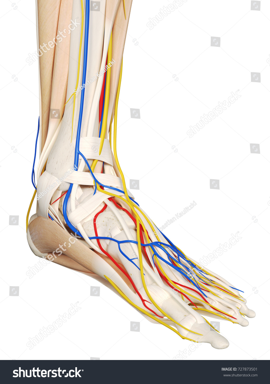 3 D Rendered Medically Accurate Illustration Foot Stock Illustration ...