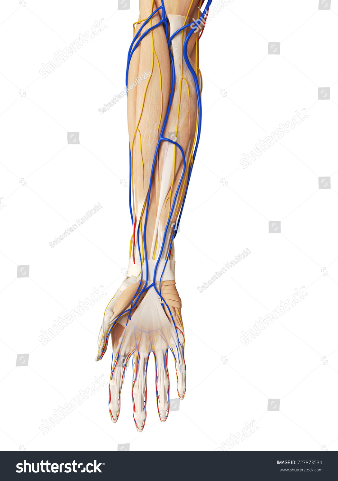 3 D Rendered Medically Accurate Illustration Arm Stock Illustration ...