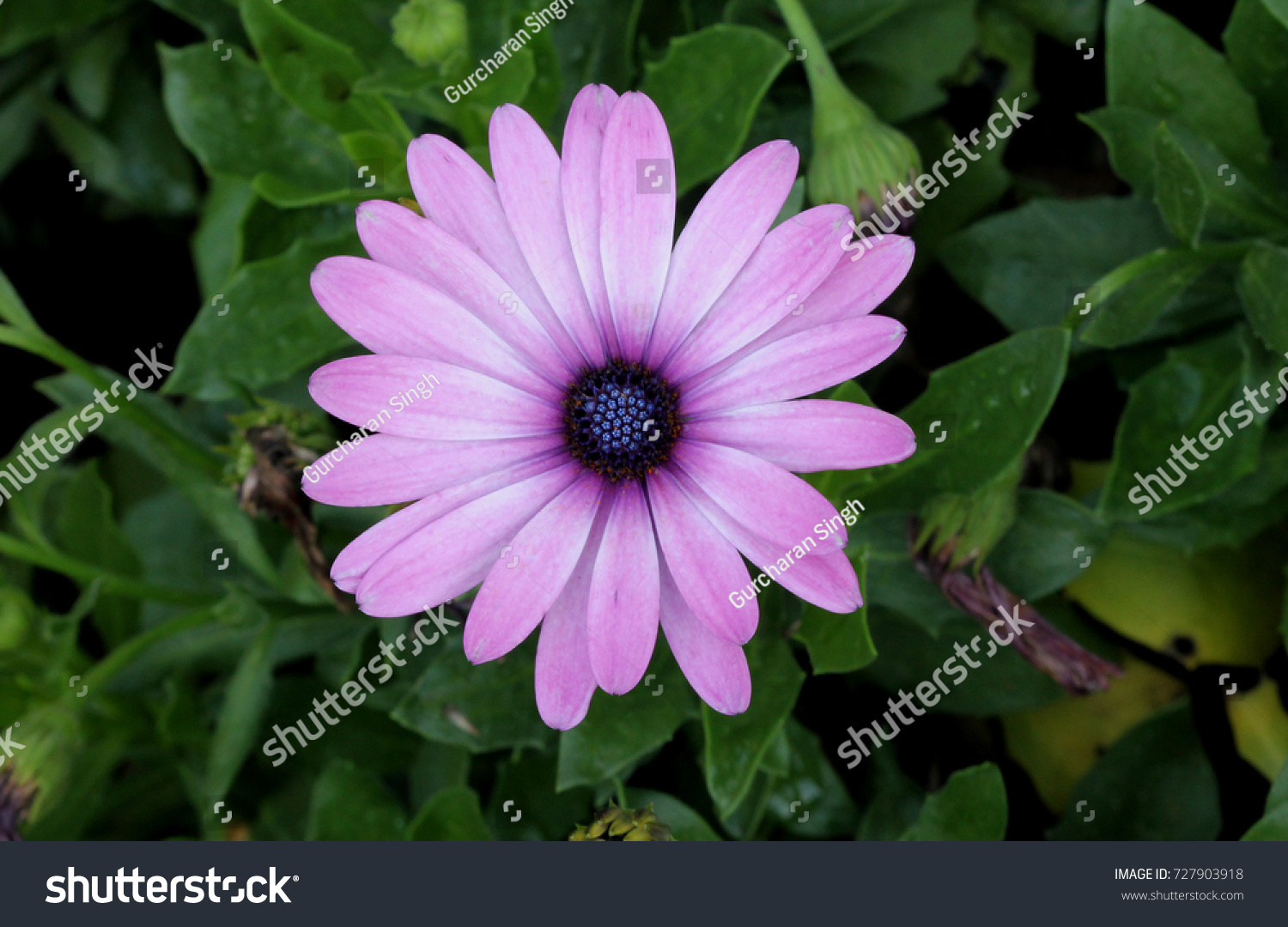 Osteospermum Ecklonis African Daisy Subshrub Rigid Stock Photo Edit