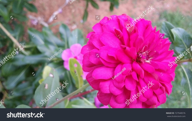 Huge pink flower stock photo edit now 727948576 shutterstock huge pink flower mightylinksfo
