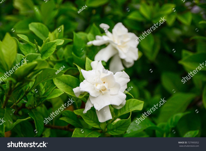 Gardenias Cape Jasmine Fragrant White Flowers In Thailand Ez Canvas