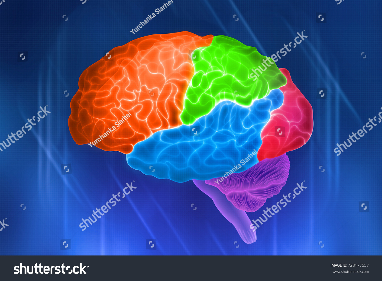 Parts Human Brain Color Designation Shares Stock Illustration
