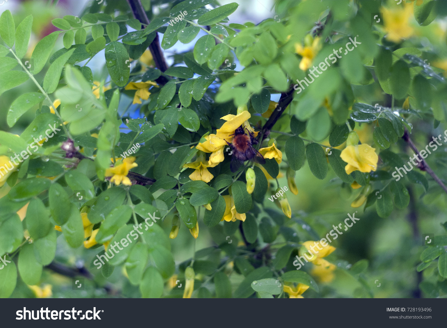 Yellow Flowers Green Leaves Bush Caragana Stock Photo Edit Now