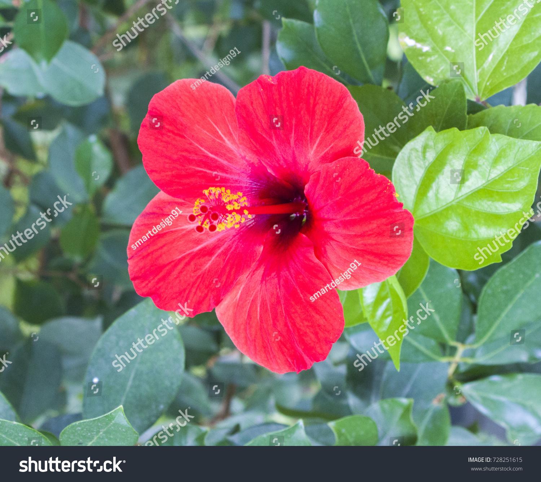Photo Beautiful Flower Hibiscus Rosasinensis Stock Photo Edit Now