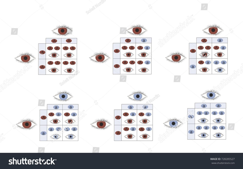 Genetic eye color inheritance brown blue stock illustration genetic eye color inheritance of brown and blue eyes nvjuhfo Images