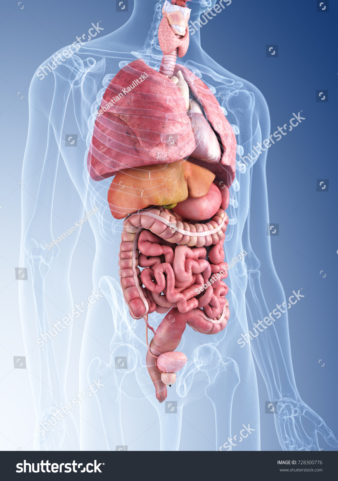 3 D Rendered Medically Accurate Illustration Human Stock Torso Diagram 3d Of The Organs