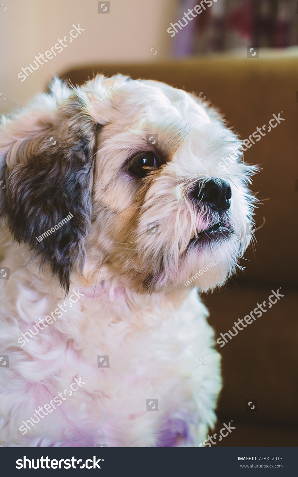 Short Hair White Shih Tzu Dog Stock Photo Edit Now 728322913