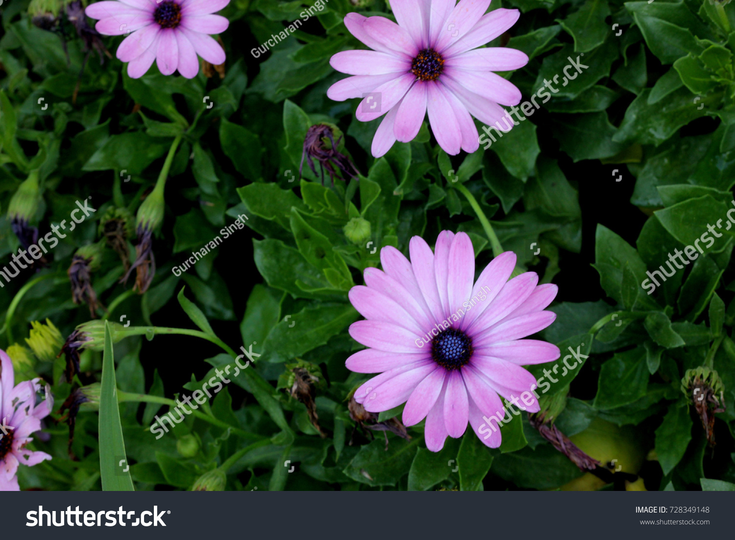 Osteospermum Ecklonis African Daisy Subshrub Rigid Stock Photo