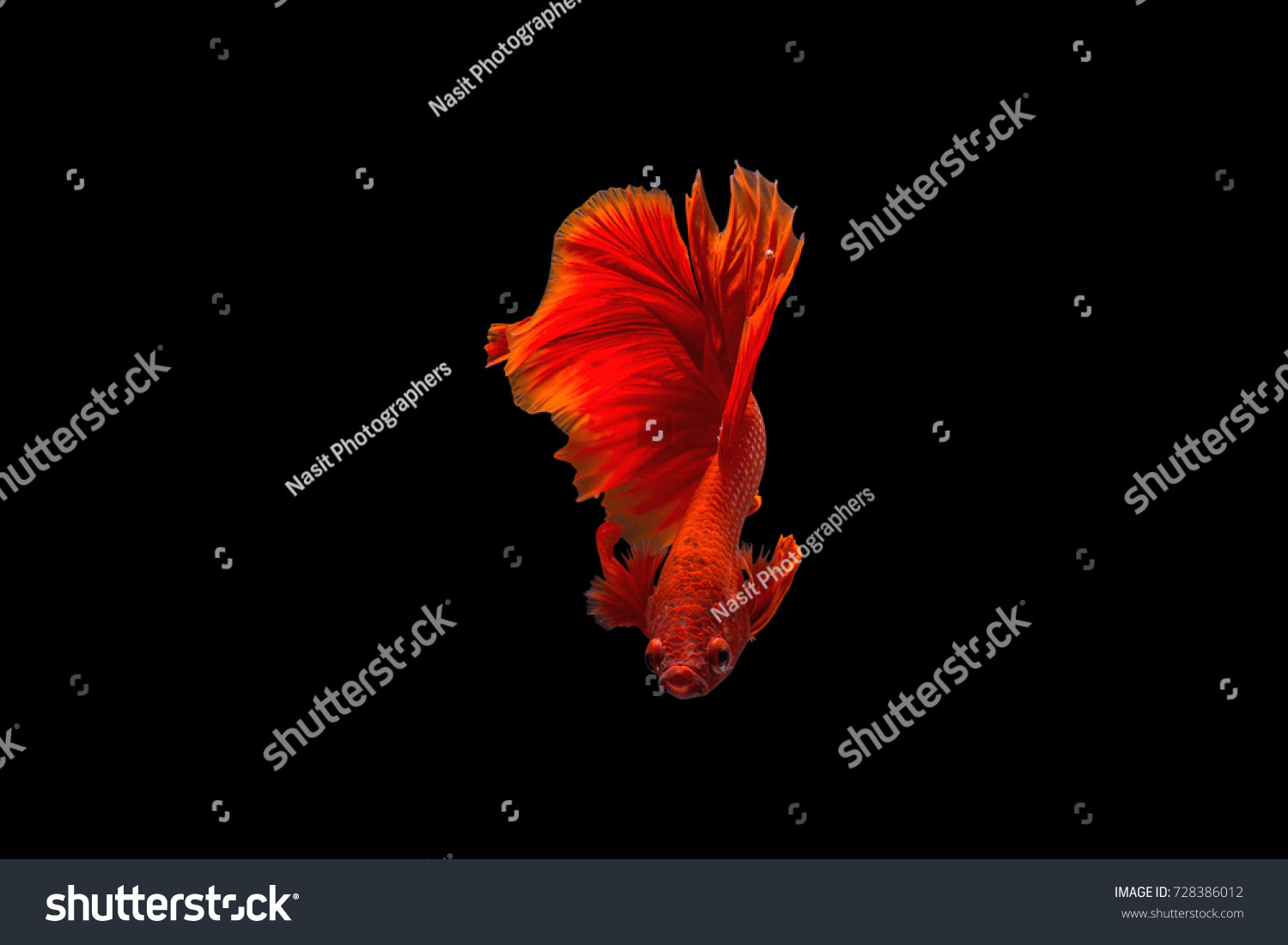 Betta Fish Red Color Back Background Stock Photo (Royalty Free ...