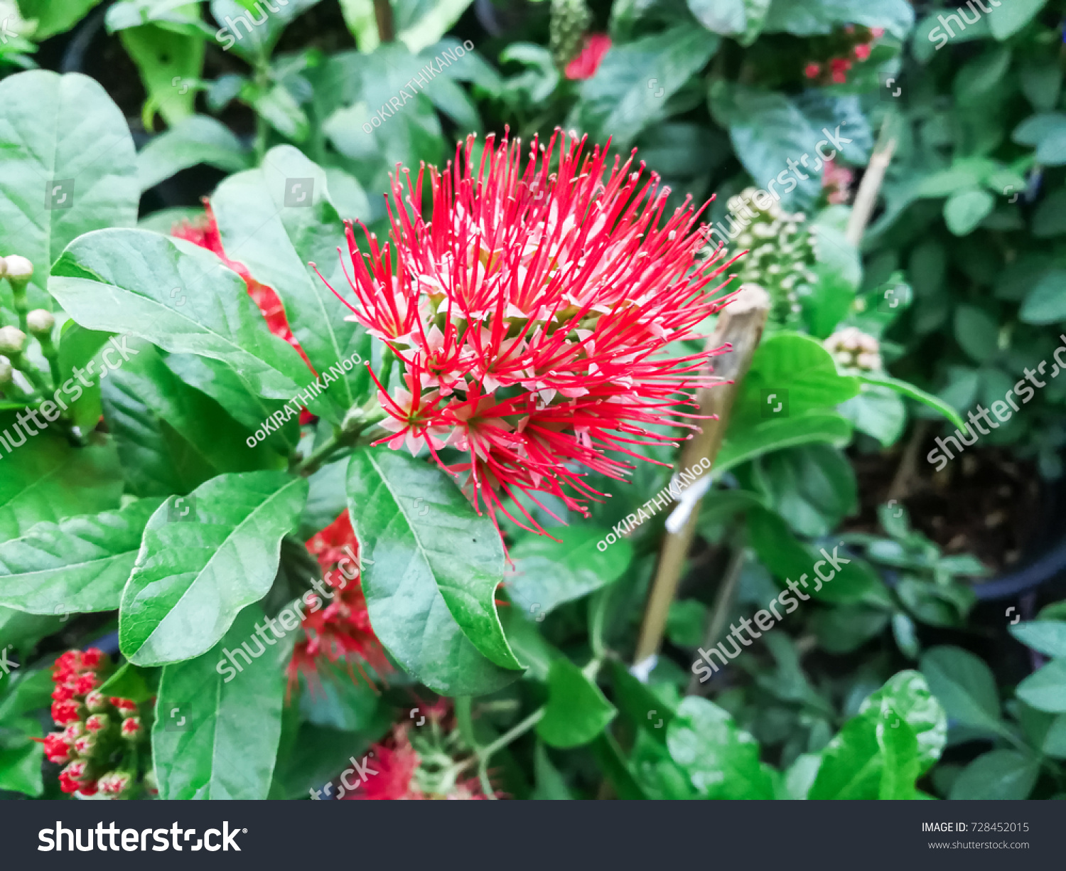Close Up Beautiful Flower Bush Willow Or Other Name Finger Lies