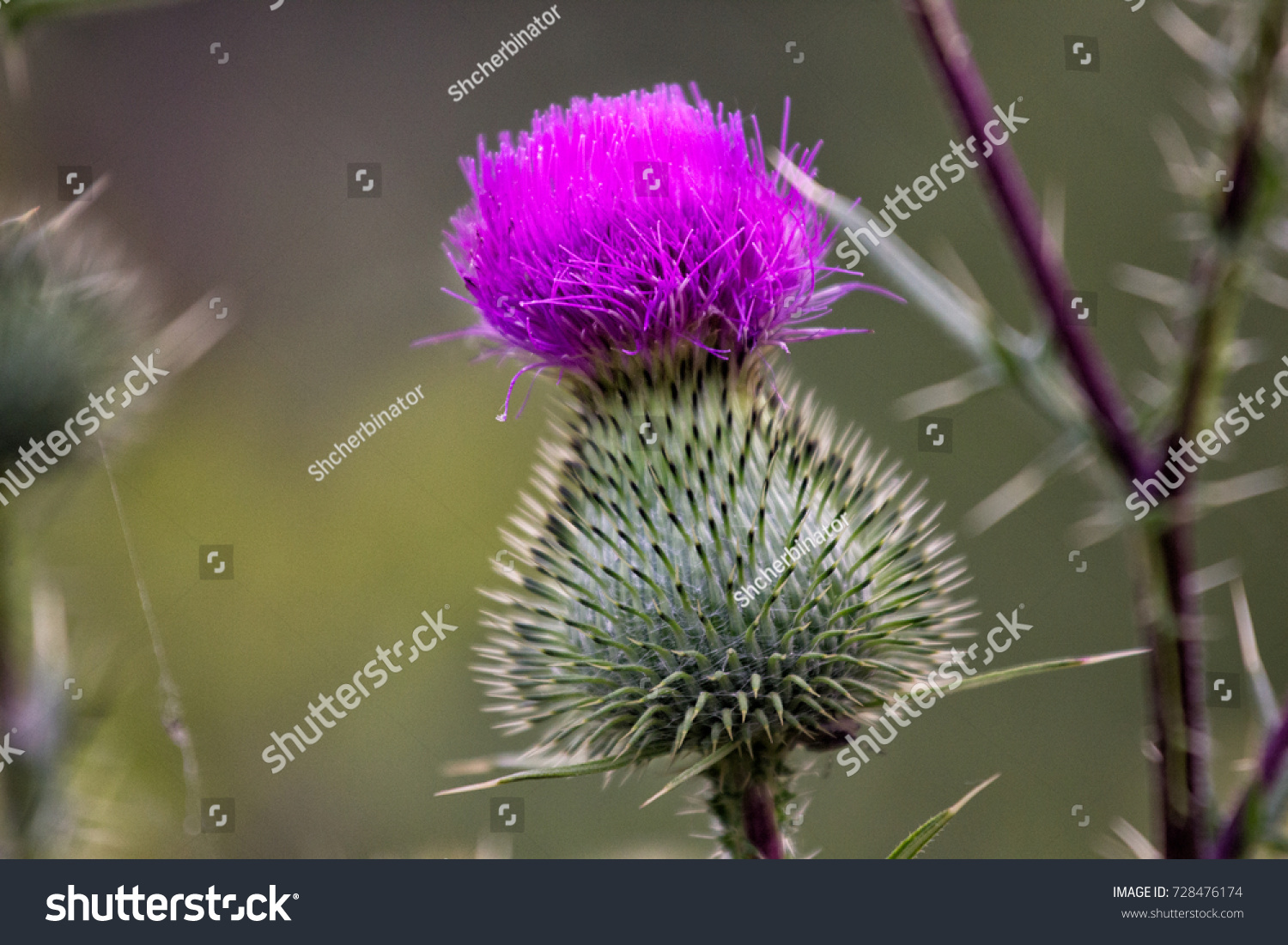 Thistle Buds And Flowers On A Summer Field Thistle Flowers Is The
