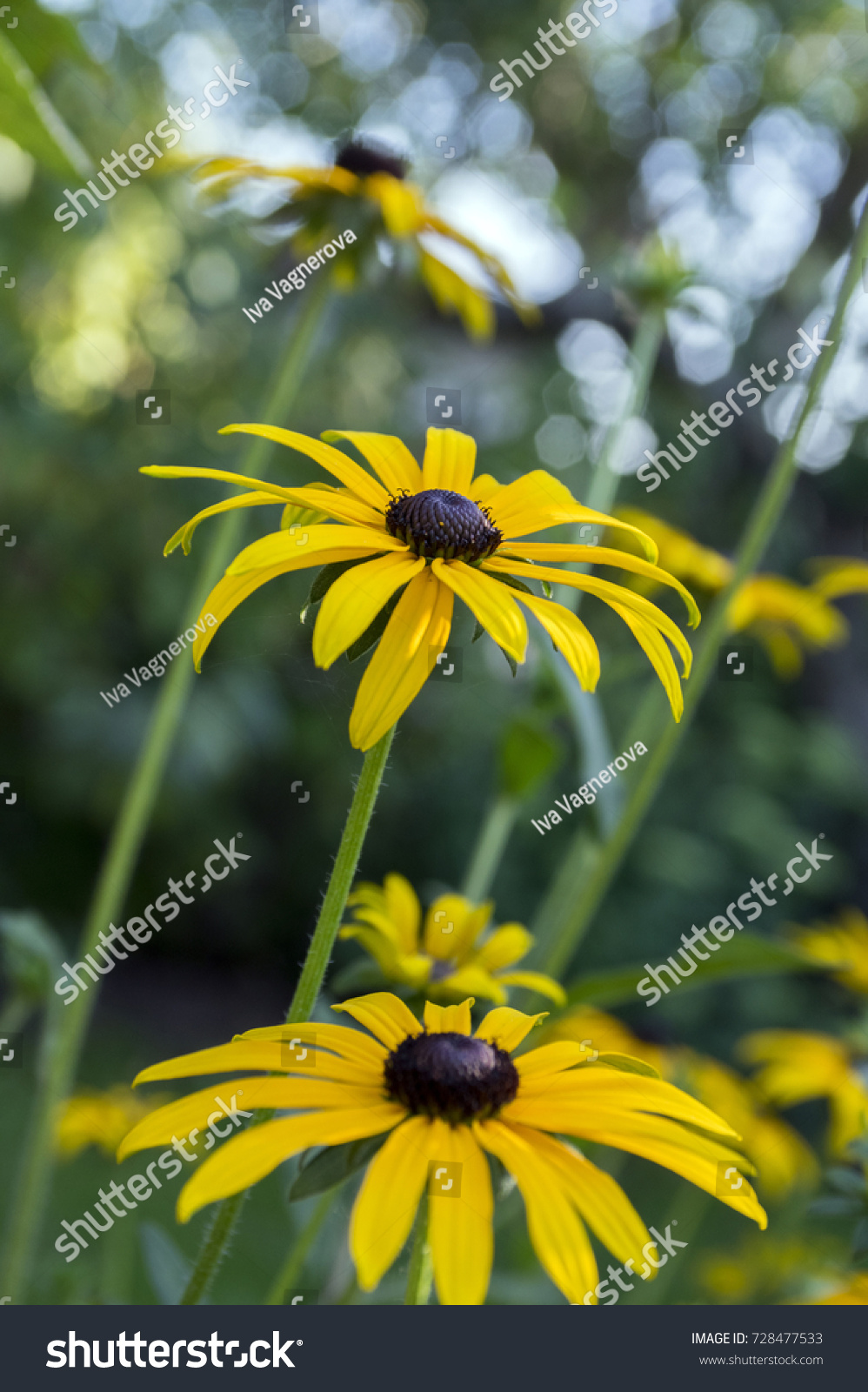 Rudbeckia Hirta Yellow Flower With Black Brown Centre In Bloom