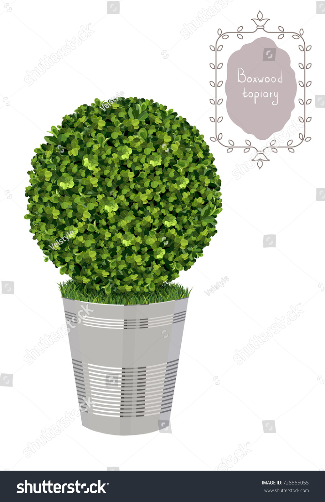 isolated boxwood topiary in a metal flower pot garden plant vector background english