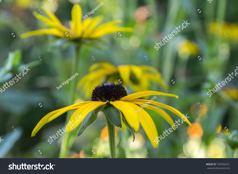 Rudbeckia Hirta Yellow Flower Black Brown Stock Photo Edit Now