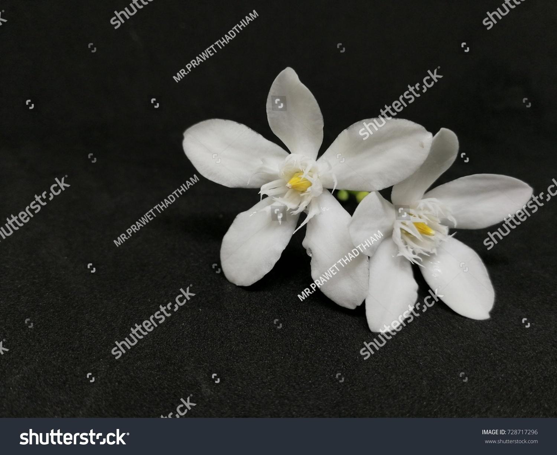 White Sampaguita Jasmine China Box Tree Stock Photo Edit Now