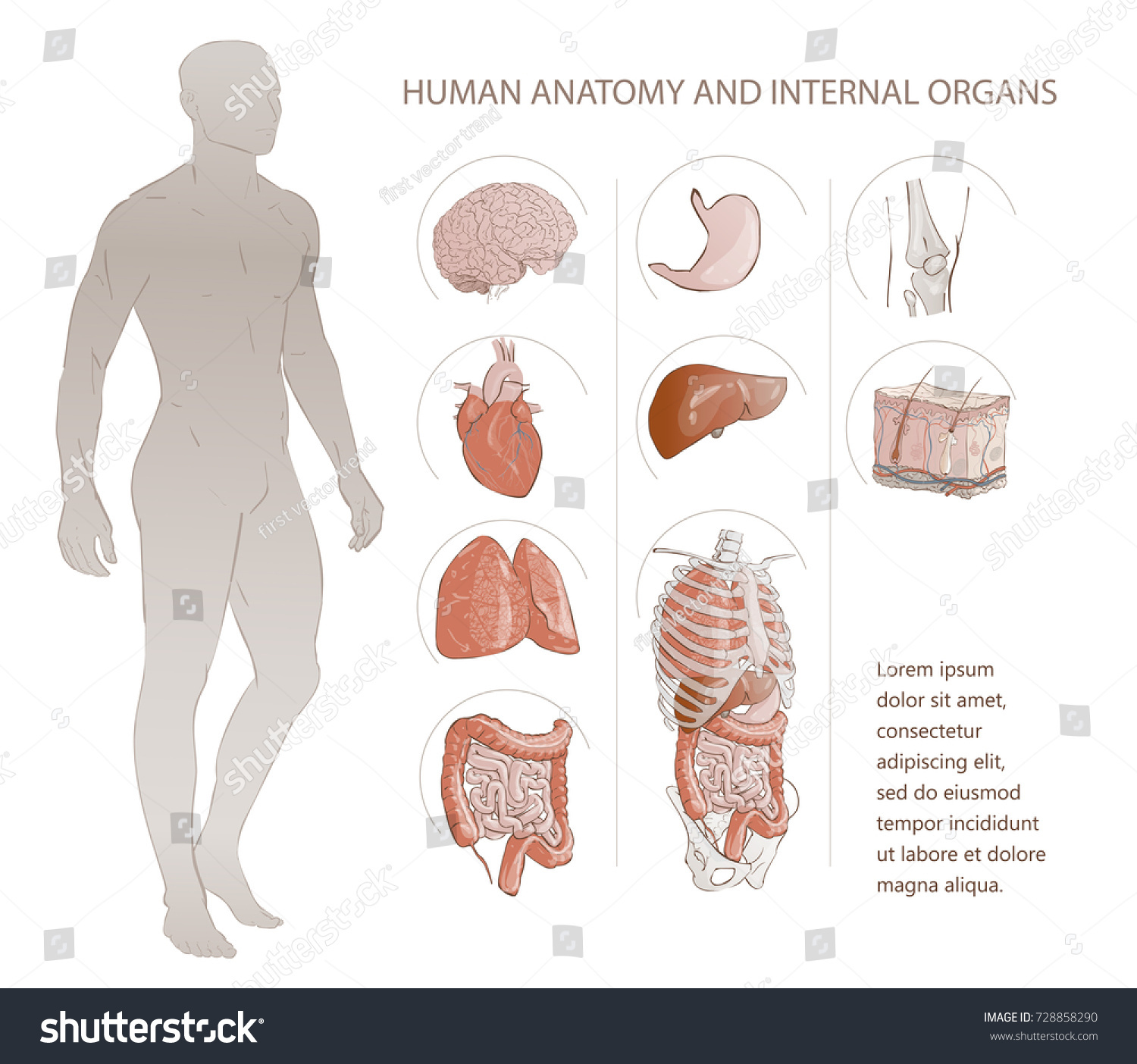 Illustration Set Complete Chart Internal Human Stock Illustration