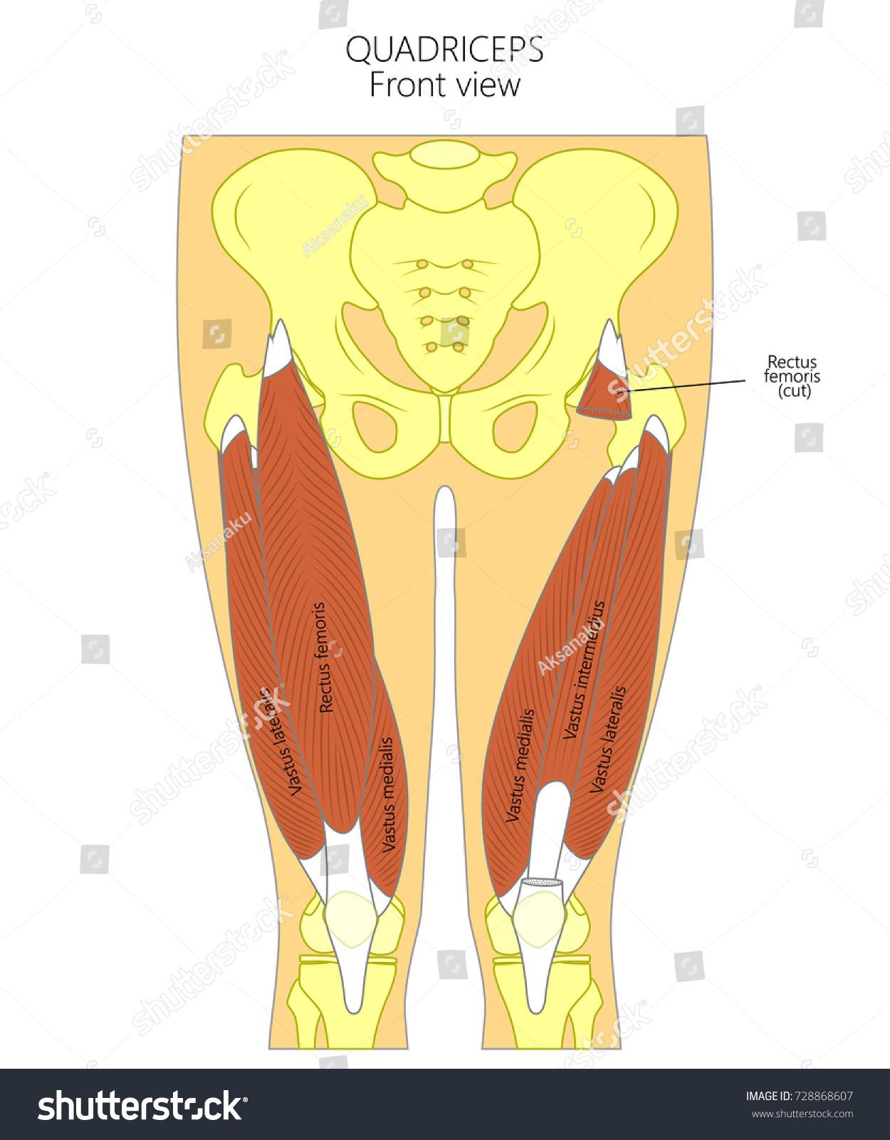 Vector Illustration Anatomy Human Quadriceps Front Stock Vector Hd