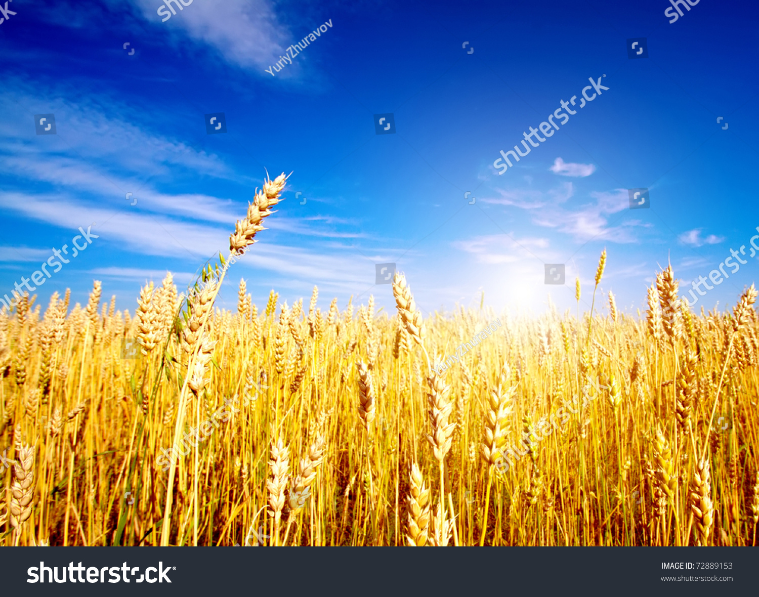 Golden Wheat Field Blue Sky Background Stock Photo 72889153 ...