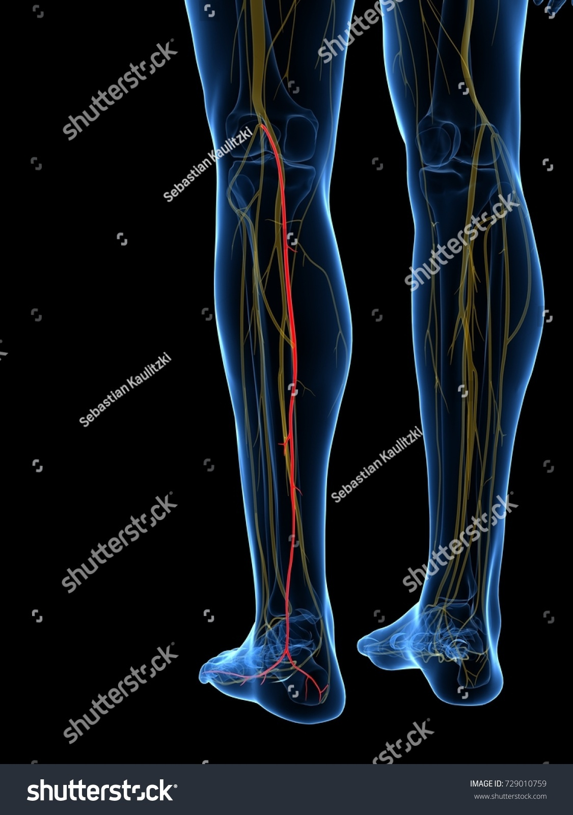 3 D Rendered Medically Accurate Illustration Medial Stock