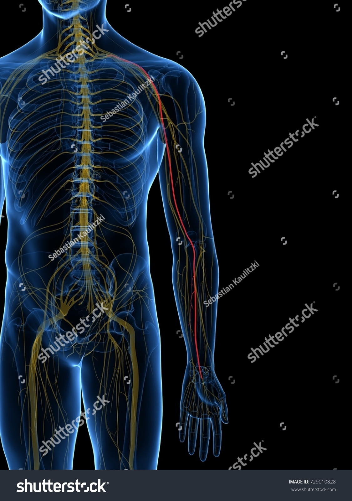 3d rendered medically accurate illustration of the Radial Nerve | EZ ...