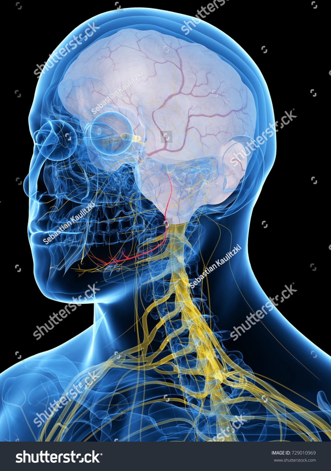 3 D Rendered Medically Accurate Illustration Lingual Stock ...