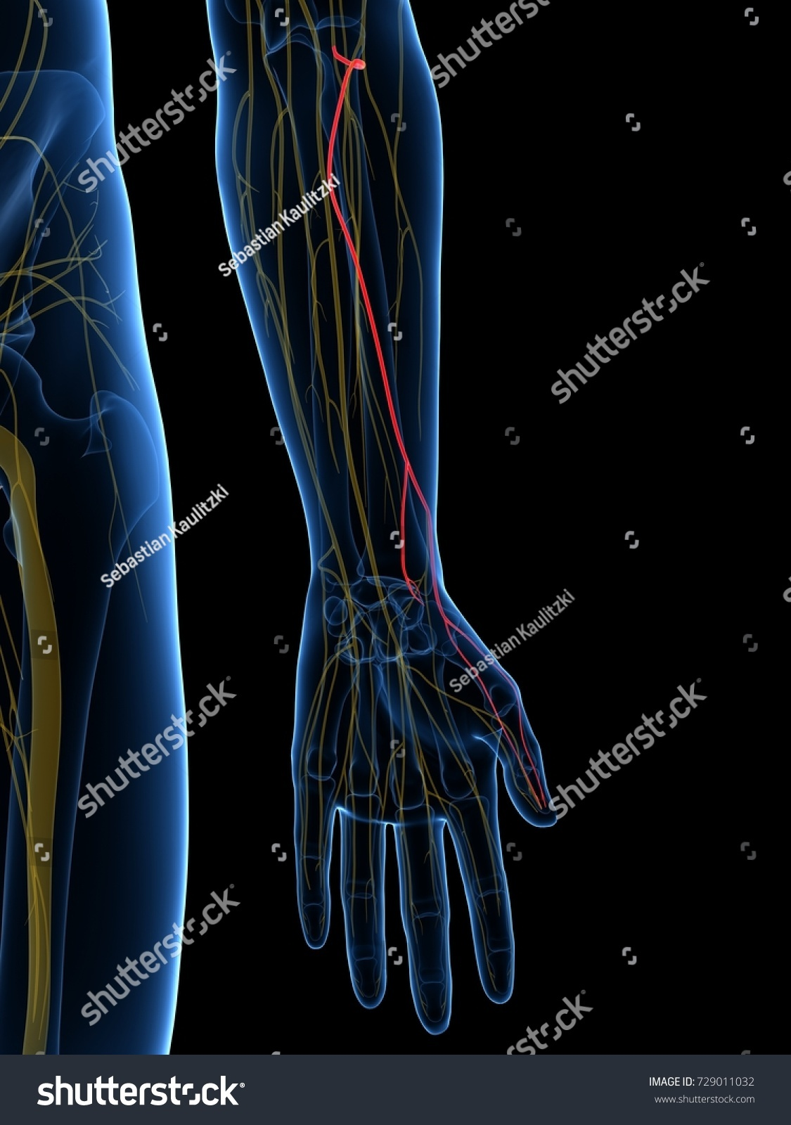 3 D Rendered Medically Accurate Illustration Superficial Stock ...