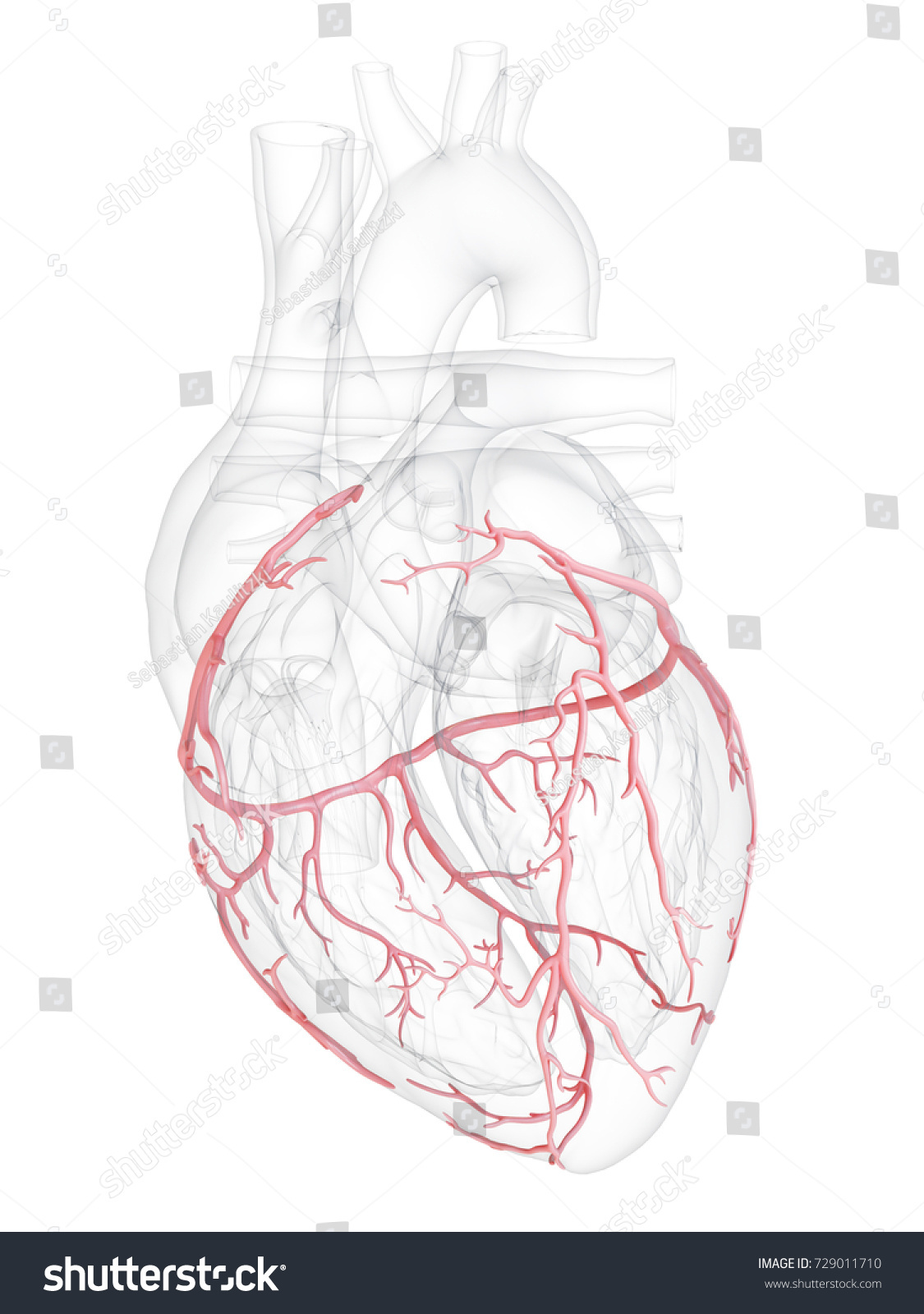 3 D Rendered Medically Accurate Illustration Coronary Stock ...