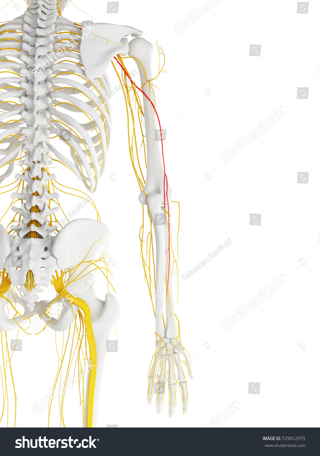 Royalty Free Stock Illustration Of 3 D Rendered Medically Accurate