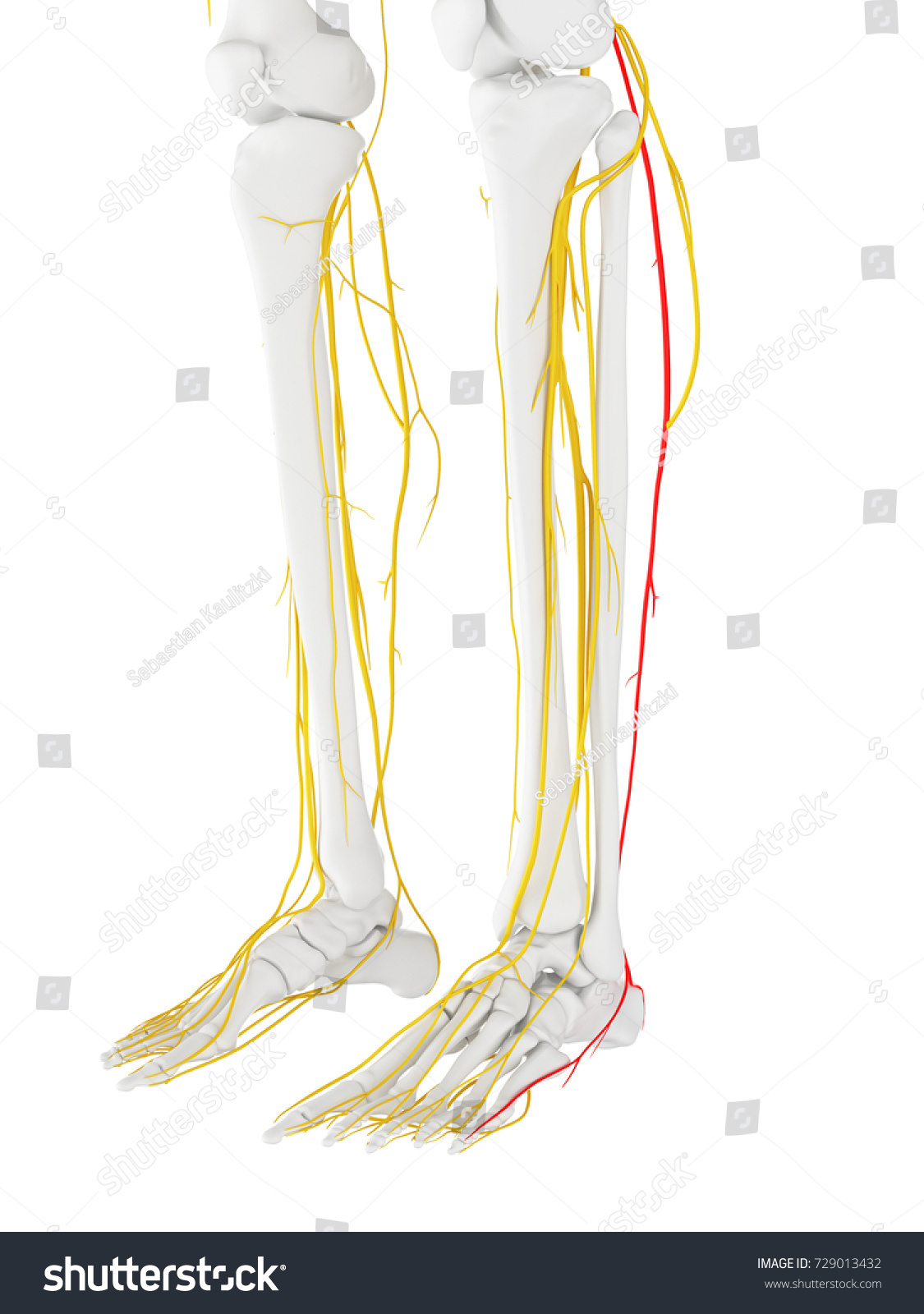 3 D Rendered Medically Accurate Illustration Sural Stock