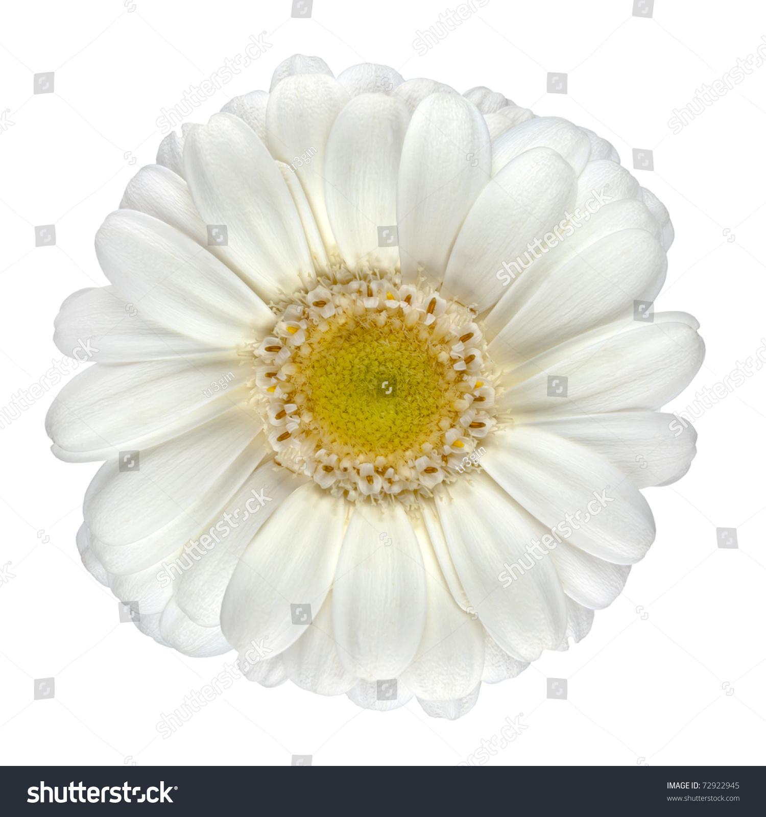 Perfect White Gerbera Flower Yellow Center Stock Photo Edit Now
