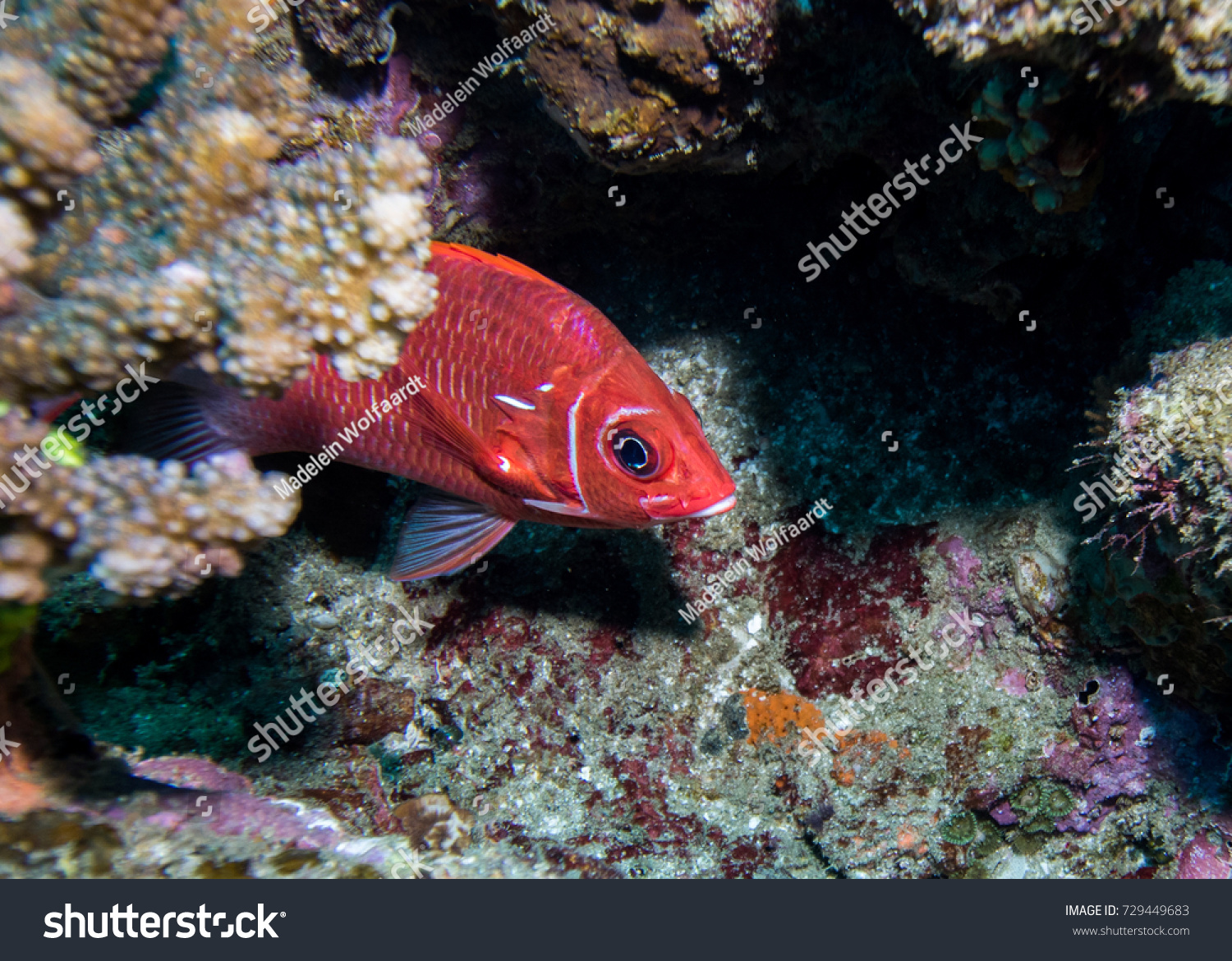 Tailspot Squirrelfish Hiding Behind Rock On Stock Photo (Download ...