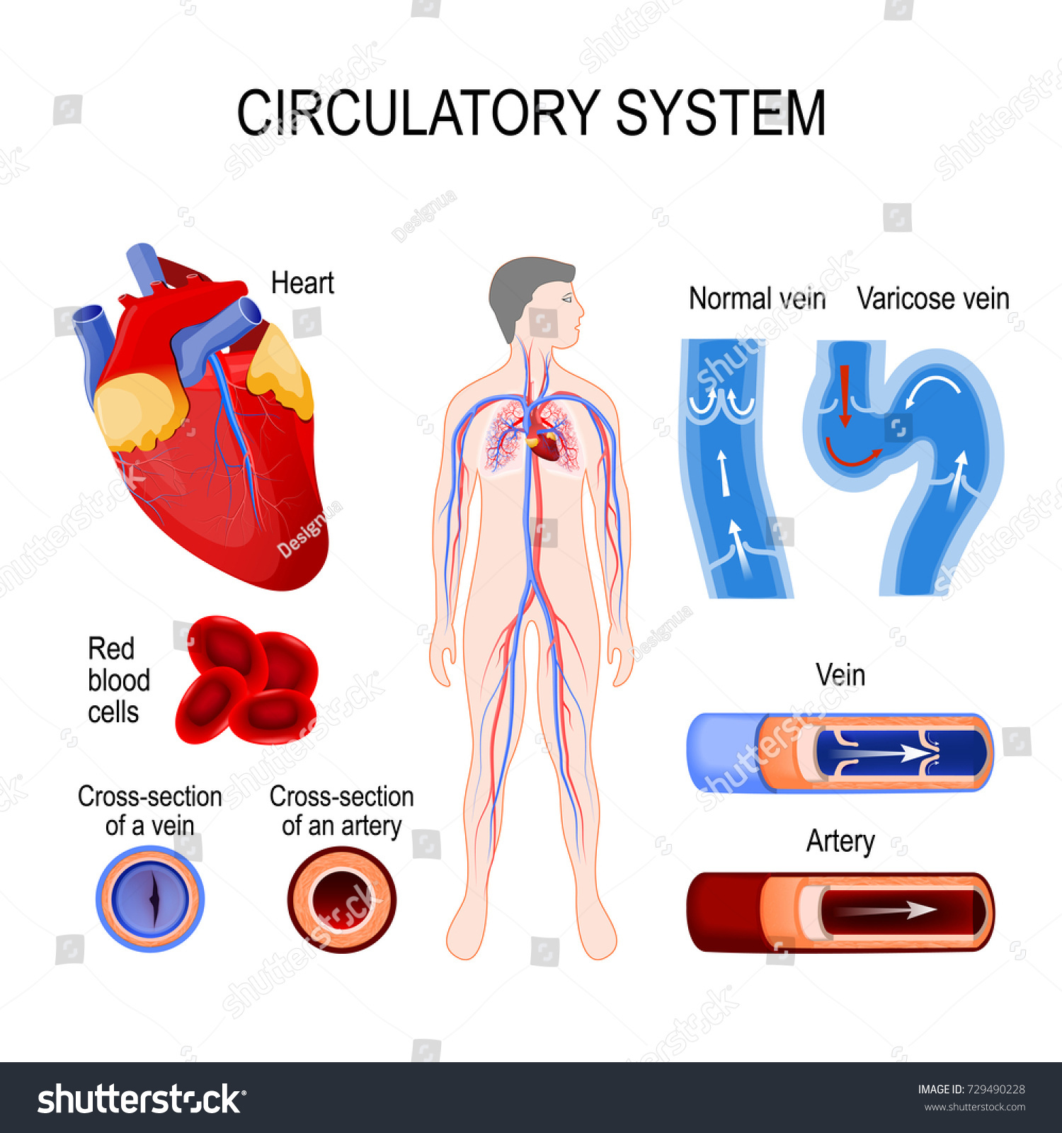 Circulatory System Heart Crosssection Artery Vein Stock Vector